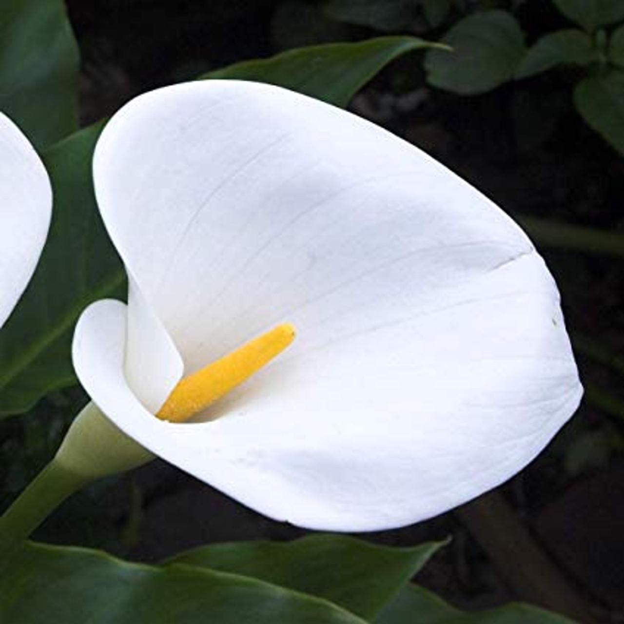 Large White Calla Lily 5 Dbec Wholesale Com