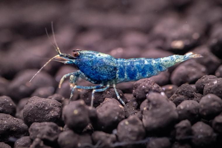 Blue Bolt Medium Grade (10)