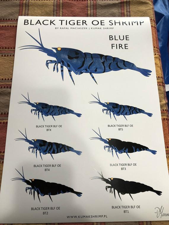 Black Tiger OE Shrimp Blue Fire (s&h included)