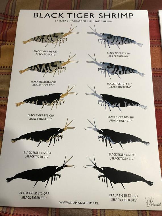 Black Tiger Shrimp  (s&h included)