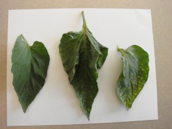 The leaf on the left is a healthy tomato leaf  that has plenty of magnesium in the soil. The other two tomato leaves were grown in soil with a magnesium deficiency.