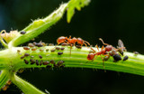 Ants (and Aphids!) in Your Plants!