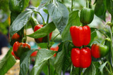 Pepper Growing Guide - How to Plant, Grow, and Harvest