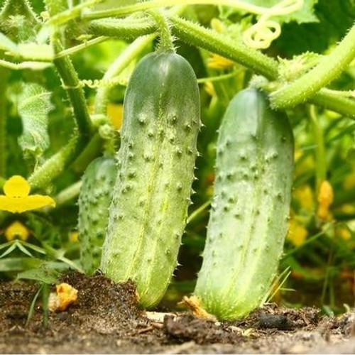 SeedCatalog National Pickling Cucumber Seeds