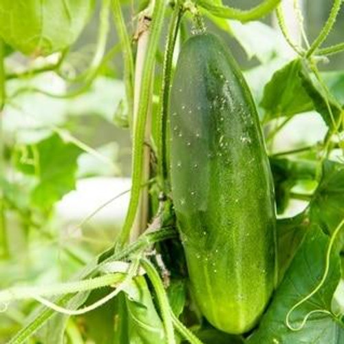 SeedCatalog Straight Eight Cucumber Seeds