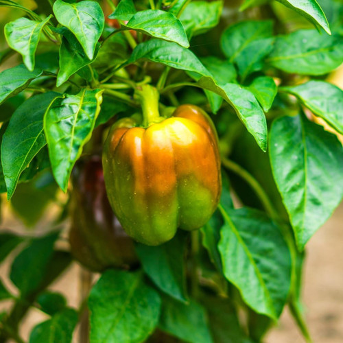 SeedCatalog California Wonder Pepper Seeds