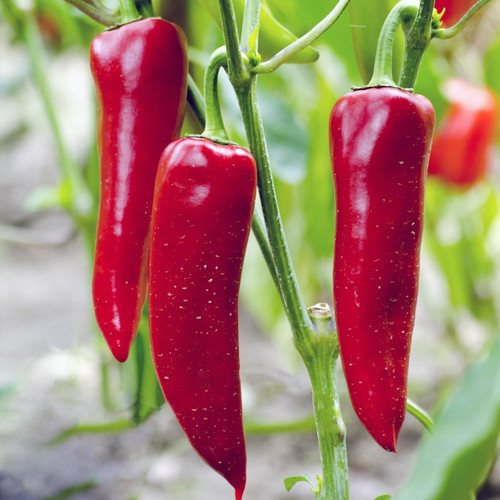 SeedCatalog Corno Di Toro Rosso Pepper Seeds