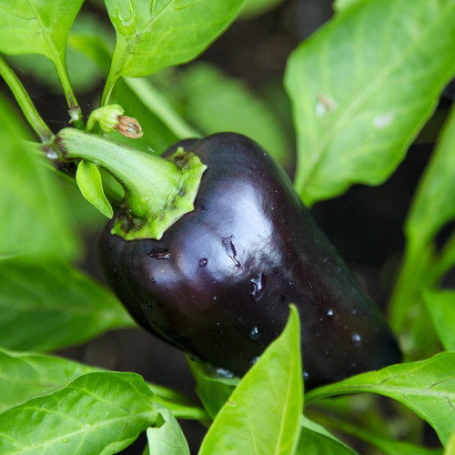 SeedCatalog Purple Beauty Sweet Pepper Seeds