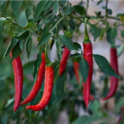 SeedCatalog Red Cayenne Pepper Seeds