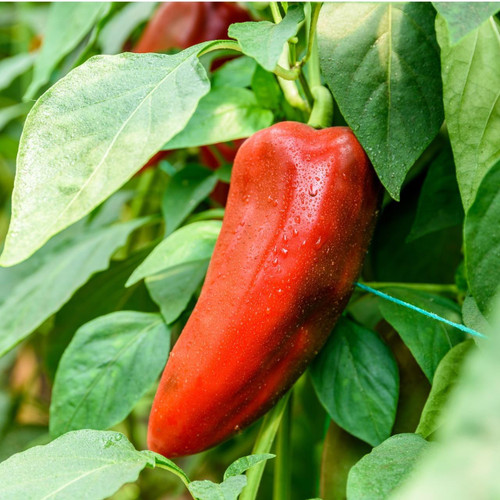 SeedCatalog Red Marconi Sweet Pepper Seeds