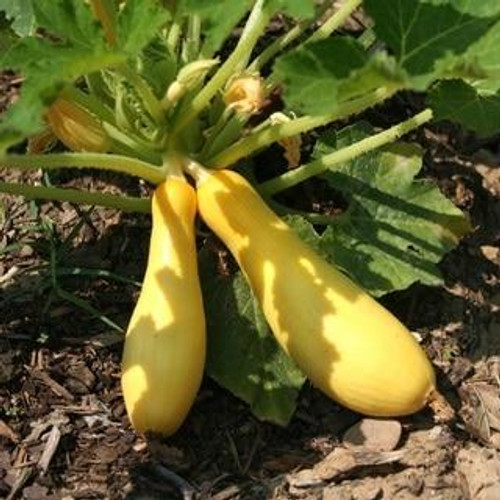 SeedCatalog Early Prolific Straight Neck Squash Seeds