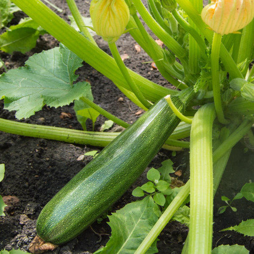SeedCatalog Green Summer Zucchini Squash Seeds