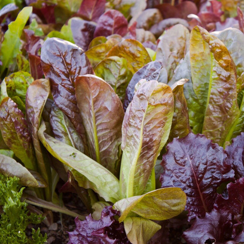 SeedCatalog Red Romaine Lettuce Seeds