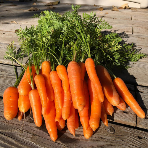 SeedCatalog Danvers Carrot Seeds