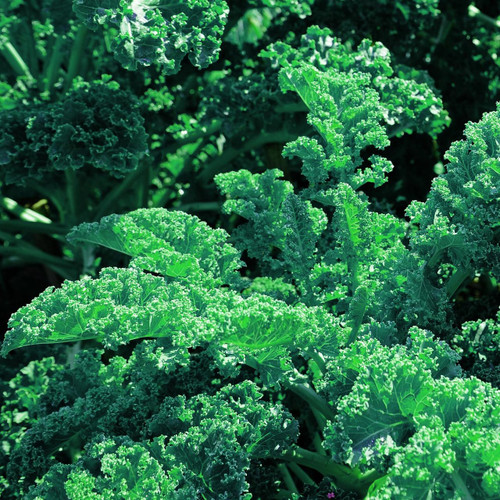 SeedCatalog Blue Curled Scotch Kale Seeds