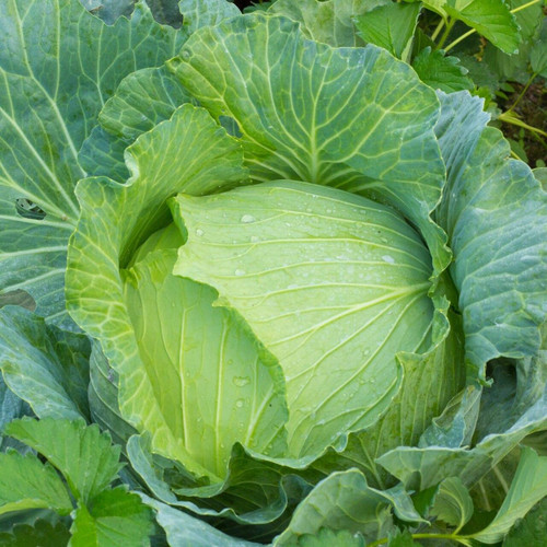 SeedCatalog Early Jersey Wakefield Cabbage Seeds