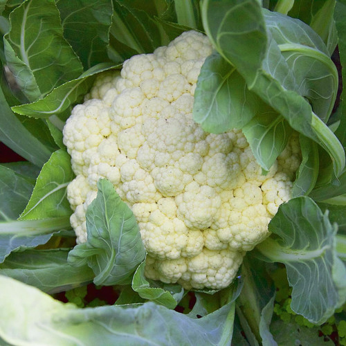 SeedCatalog Snowball Cauliflower Seeds