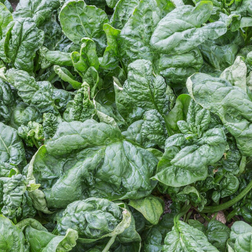 SeedCatalog Bloomsdale Long Standing Spinach Seeds