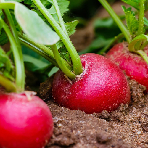 SeedCatalog Crimson Giant Radish Seeds
