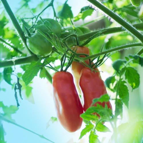 SeedCatalog San Marzano Paste Tomato Seeds