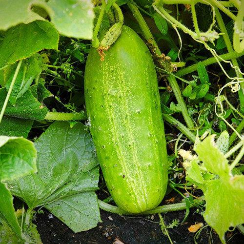 SeedCatalog Boston Pickling Cucumber Seeds