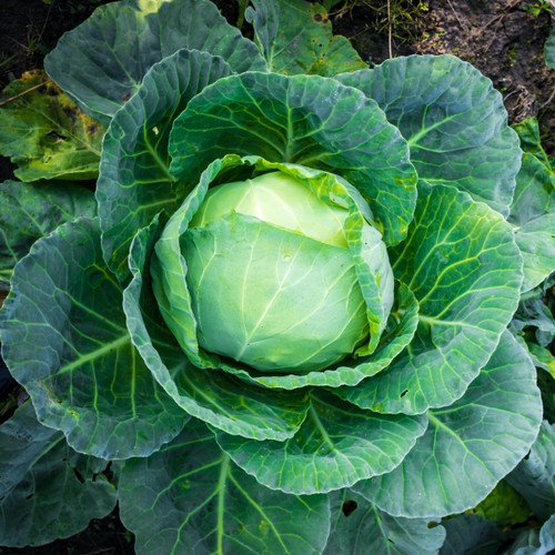 SeedCatalog Golden Acre Cabbage Seeds