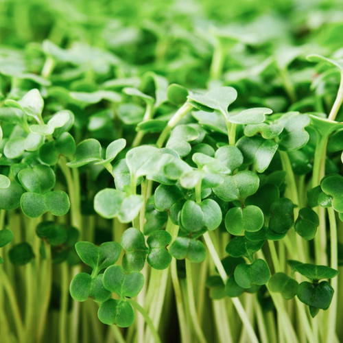 SeedCatalog Calabrese Sprouting Broccoli Seeds Microgreens
