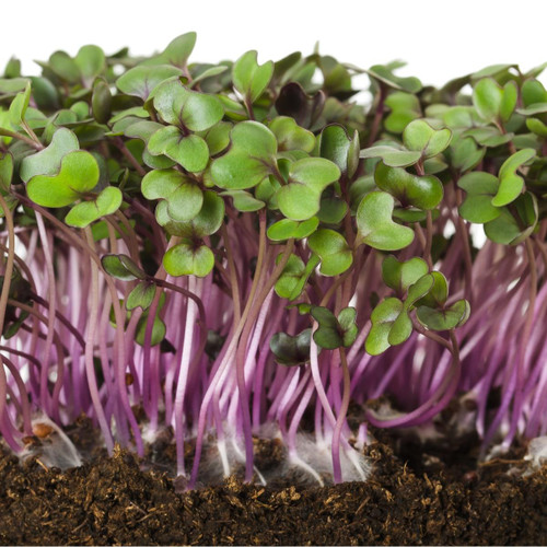 SeedCatalog Red Acre Cabbage Seeds Microgreens