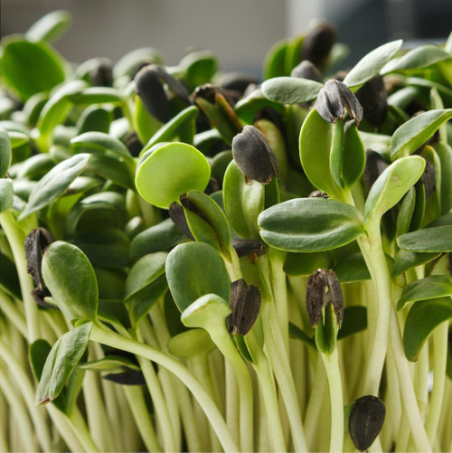 SeedCatalog Black Oil Sunflower Seeds Microgreens