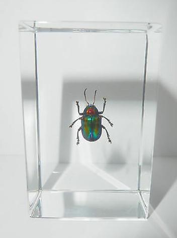 Shining Leaf Beetle Acrothinium gaschkevitschii Clear Education Insect Specimen