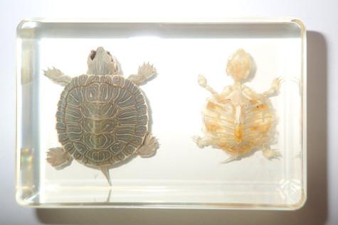 Turtle Skeleton Farmed Red-eared Slider in Clear Block Education Real Specimen