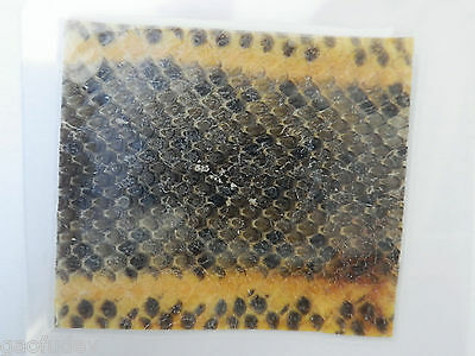 Laminated Chinese Water Snake Skin 50x50 mm sheet Education Specimen 5 pcs Lot
