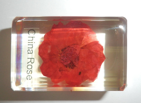 Pressed China Rose Rosa chinensis Flower in clear Block Education Specimen