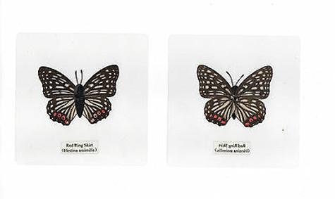 Laminated Red Ring Skirt Hestina assimilis Butterfly Specimen 110x110 mm sheet