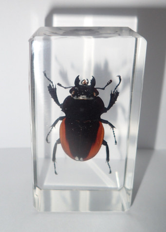 Golden Stag Beetle Odontolabis cuvera Female Specimen in 73x40x20 mm clear Block