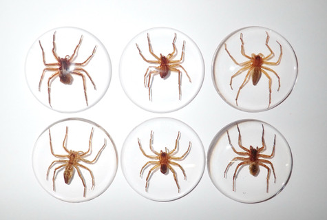Insect Cabochon Ghost Spider Specimen 38 mm Round Clear 10 pieces Lot