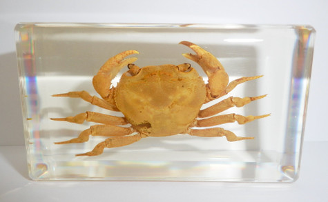 Chinese River Crab in 73x40x16 mm Clear Block Education Marine Specimen