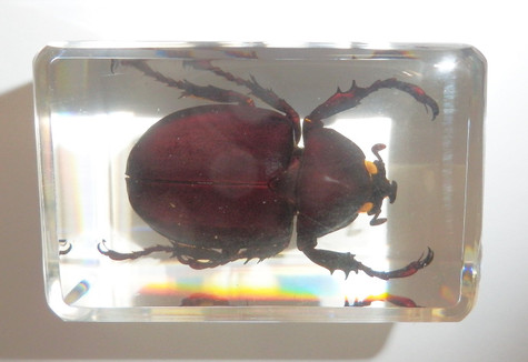 Rhinoceros Unicorn Beetle in small Paperweight Education Insect Specimen