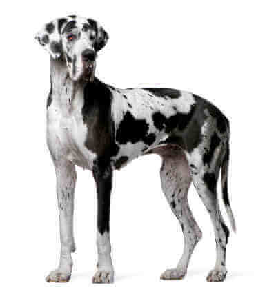 Sliding Glass Door Dog Doors for Great Danes and Other Giant Breeds