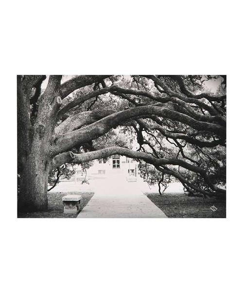 Paulson Designs 4 X 6 Century Tree Postcard