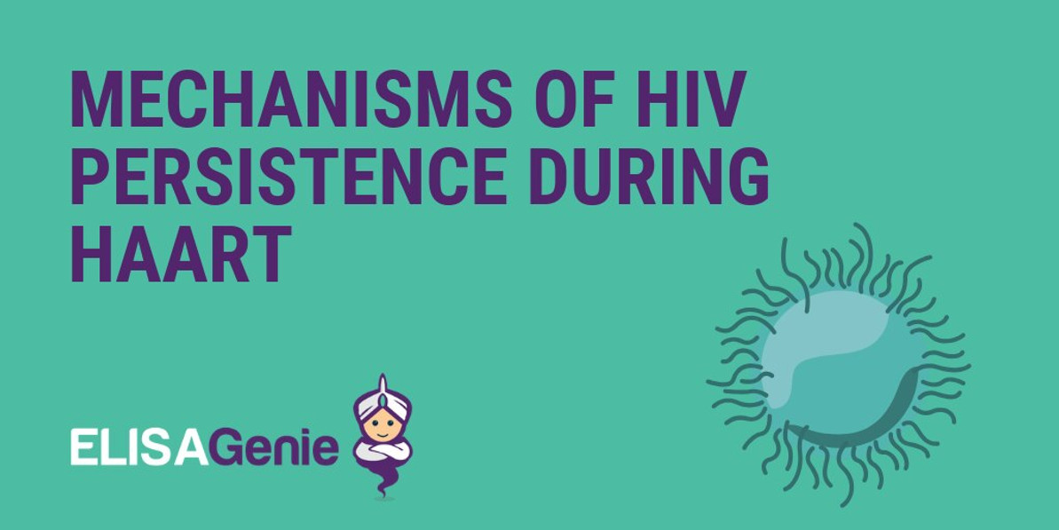 Mechanisms of HIV persistence during HAART