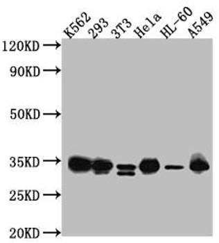 Anti-CDK2 Antibody RACO0491