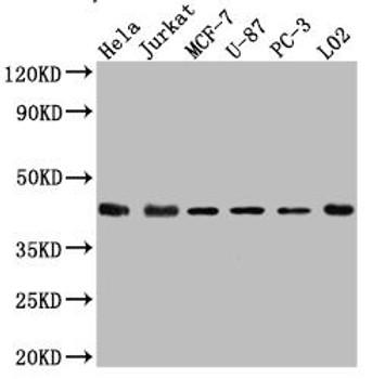 Anti-MAPK14 Antibody RACO0498