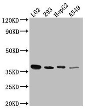 Anti-LRG1 Antibody RACO0499