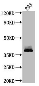 Anti-DKK1 Antibody RACO0534