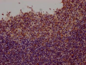 Anti-FYN Antibody RACO0537