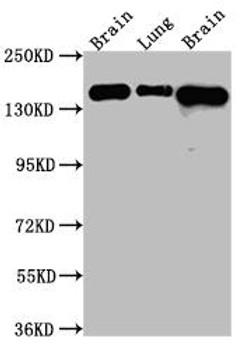 Anti-FGFR2 Antibody RACO0543