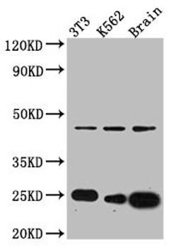 Anti-CDC42 Antibody RACO0549