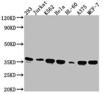 Anti-STX4 Antibody RACO0559