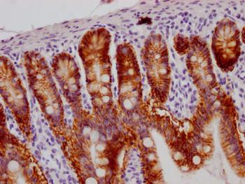 Anti-GPA33 Antibody RACO0562